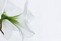 Hippeastrum, weißer Ritterstern 3.JPG