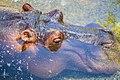 Hippo (48097378).jpeg