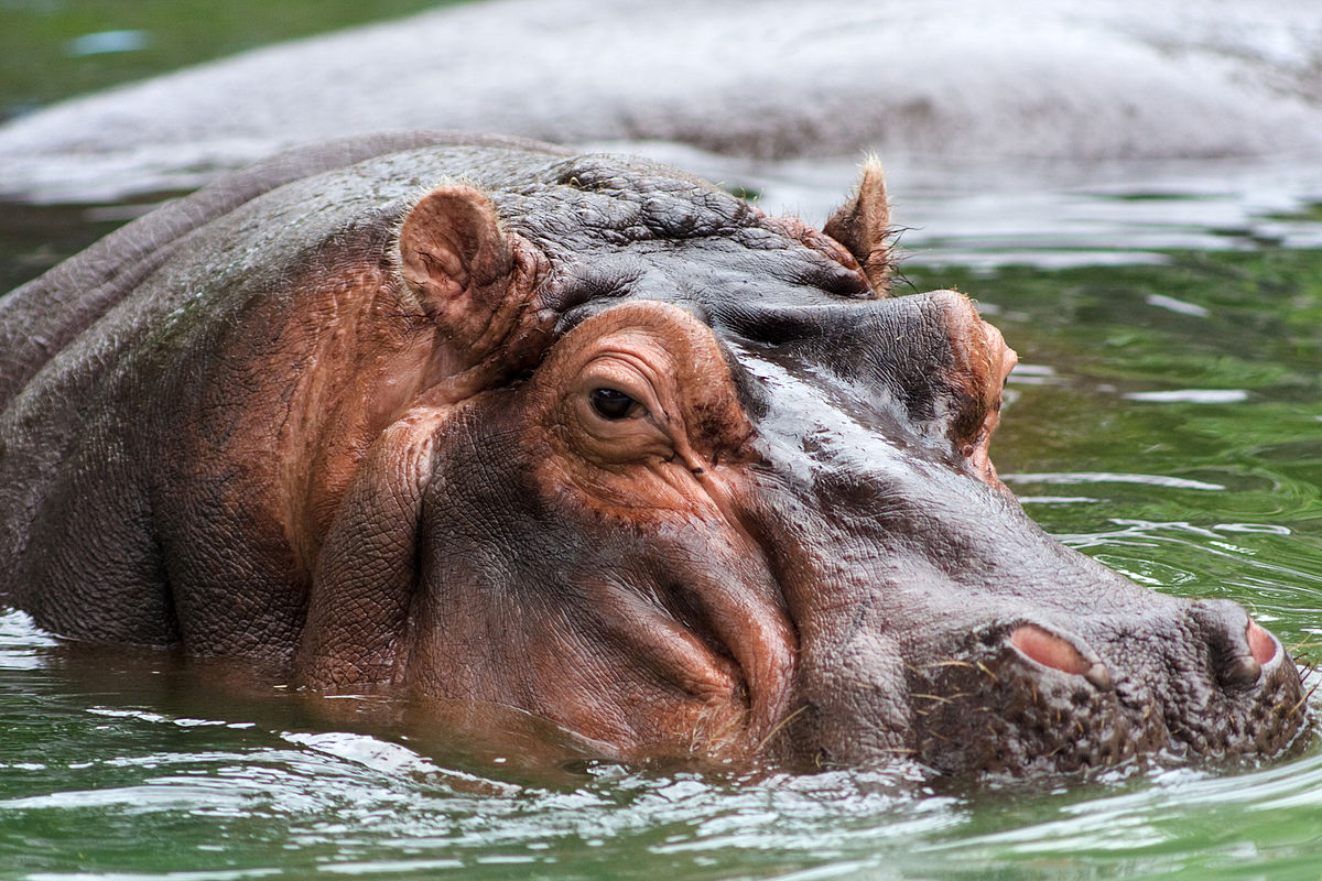 Hippopotamus - Simple English Wikipedia, the free encyclopedia