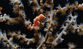Hippocampus bargibanti en Muricella sp.jpg