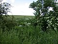 Hogweed and Elder by the road to Chrishall Grange - geograph.org.uk - 833110.jpg