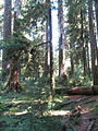 Hoh Rainforest - Olympic National Park - Washington State (9780035512).jpg