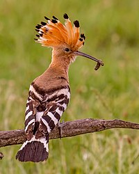 Hoopoe taking food to the nest (19546723036).jpg