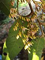 Hopea ponga flowers at Keezhpally (1).jpg