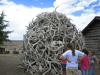 Old Trail Town - Elk horns stacked at Old Trail Town in Wyoming