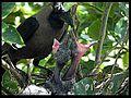 House Crow feeding chicks.jpg