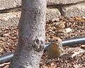 Housefinch yellow male 01.jpg