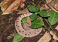 Hump-nosed Pit Viper Hypnale hypnale by Dr. Raju Kasambe DSCN0942 (32).jpg