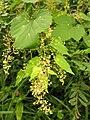 Humulus lupulus var. cordifolius 1.JPG