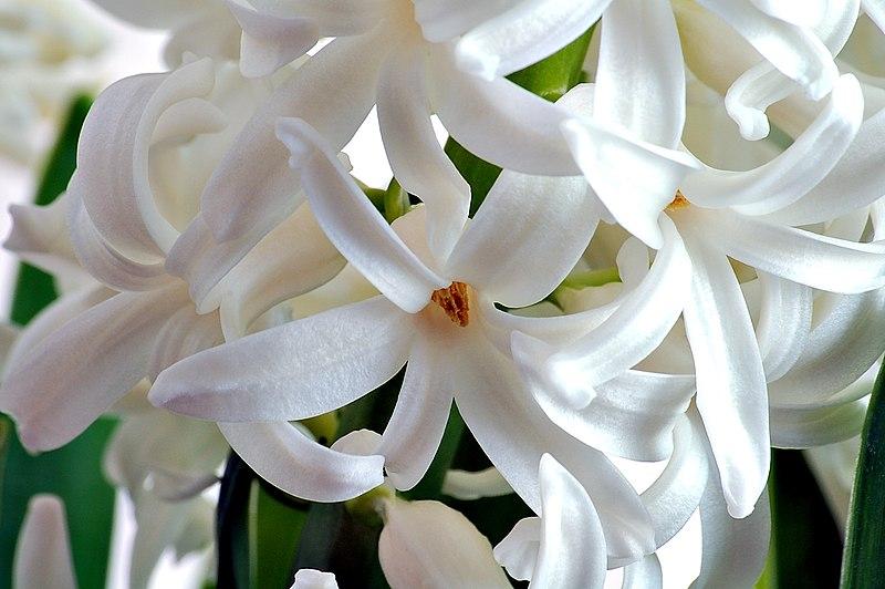800px-Hyacinth_flower_close-up_aka.jpg