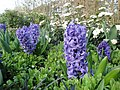 Hyacinths at Regent's Park in March 2012 2.jpg