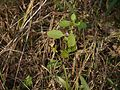 Hygrophila ringens (5139210106).jpg