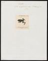 Hyla aurifasciata - 1700-1880 - Print - Iconographia Zoologica - Special Collections University of Amsterdam - UBA01 IZ11500113.tif
