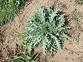 Hyoscyamus niger sl19.jpg