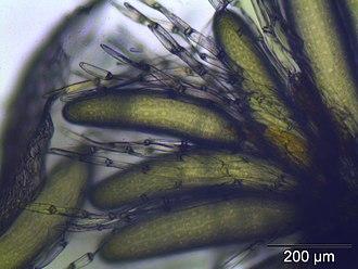 Antheridium - Image: Hypnum cupressiforme perichaetialblaetter
