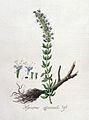 Hyssopus offinalis — Flora Batava — Volume v4.jpg