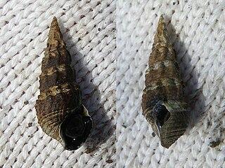 <i>Batillaria</i> genus of molluscs