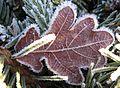 Iced oak leaf Eichenblatt vereist.jpg