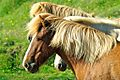 Iceland Horse heads.jpg