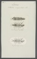 Idotea ungulata - - Print - Iconographia Zoologica - Special Collections University of Amsterdam - UBAINV0274 098 06 0010.tif