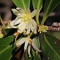 Illicium anisatum (flower s6).jpg