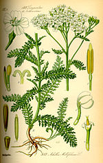 Illustration Achillea millefolium0.jpg