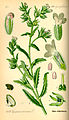 Illustration Lycopsis arvensis0.jpg