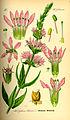 Illustration Lythrum salicaria0.jpg
