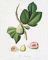 Illustration from Pomona Italiana Giorgio Gallesio by rawpixel00036.jpg