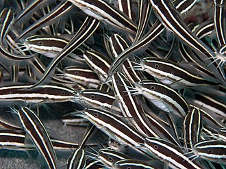 Eeltail catfish - Striped eel catfish, Plotosus lineatus