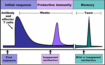 The time course of an immune response. Due to the formation of immunological memory, reinfection at later time points leads to a rapid increase in antibody production and effector T cell activity. These later infections can be mild or even inapparent.