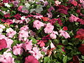 Impatiens hill balsum from lalbagh 2042.JPG
