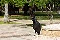 Indian Jungle Crow at Viharamahadevi Park, Colombo, Sri-Lanka.jpg