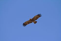 Indian Spotted Eagle in flight view.jpg