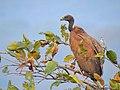 Indian vulture (Gyps indicus) 2 Photograph by Shantanu Kuveskar.jpg