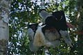 Indris (Indri indri) female with young (9641333693).jpg