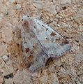 Ingrailed Clay. Diarsia mendica. - Flickr - gailhampshire.jpg