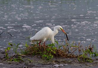 Intermediate egret - In Northern Territory, Australia