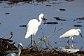 Intermediate Egret with catch (23500982739).jpg