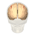 Intraparietal sulcus - posterior view.png