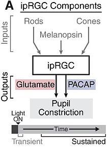 Light effects on circadian rhythm - Wikipedia