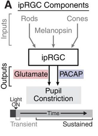 Intrinsically photosensitive retinal ganglion cells - Inputs and outputs to ipRGCs involved in the pupillary light reflex.