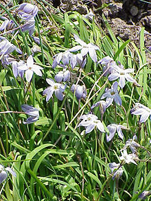Ipheion uniflorum5.jpg