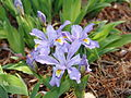 Iris cristata 'Eco Bluebird' (3455977784).jpg