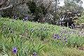 Iris lutescens-Iris des garrigues-20150418.jpg