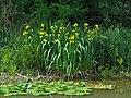 Iris pseudacorus IMG 5235.jpg