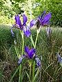 Iris sibirica sl27.jpg