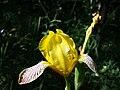 Iris variegata sl67.jpg