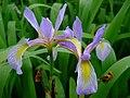 Iris virginica var. shrevei.jpg