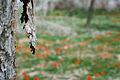 Israel anemones - כלניות (6883601172).jpg